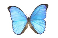 Blue And Black Butterfly On White Fine Art Print
