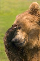Brown Bear Disbelief Fine Art Print