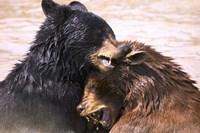 Wet Bear Hug Fine Art Print