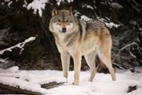 Brown Wolf In Winter Fine Art Print