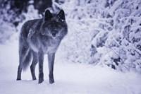 Gray Wolf In Winter Snow Fine Art Print