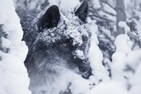 Gray Wolf Under Winter Snow Fine Art Print