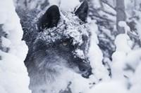 Gray Wolf Under Winter Snow Fine Art Print