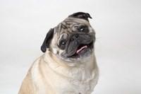 Pug Portrait On White Fine Art Print