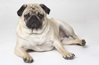 Beige And Black Pug Resting Fine Art Print
