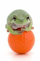 Green Frog Orange Golf Ball II Fine Art Print