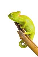 Chameleon On Branch Fine Art Print
