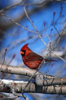 Cardinal On Birch Branch Fine Art Print