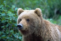 Brown Bear Stare Fine Art Print