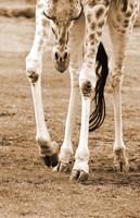 Giraffe In Field Sepia Fine Art Print