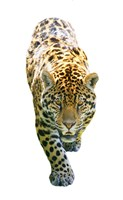 Jaguar On White Fine Art Print