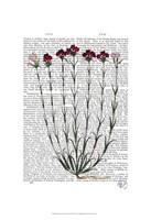 Italian Carnation 4 Framed Print