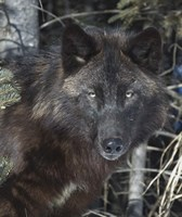 Black Wolf Fine Art Print