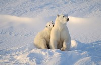 Mother Polar Bear and Cub I Fine Art Print