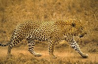 Leopard on the Run Fine Art Print