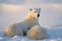Mother Polar Bear and Cub II Framed Print