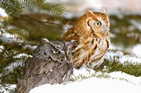 Winter Owls Fine Art Print