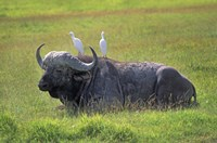 Buffalo with Birds Fine Art Print