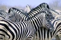 Zebra Pack Fine Art Print