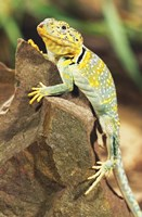 Lizard Resting Fine Art Print