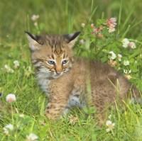 Wild Cat Cub Fine Art Print