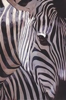 Zebra Stripes Fine Art Print