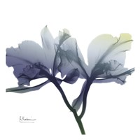 Midnight Orchid 1 Fine Art Print