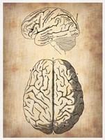 Vintage Brain Anatomy Fine Art Print