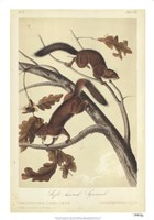 Audubon Squirrel III Fine Art Print