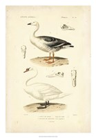 Antique Swan Study Fine Art Print