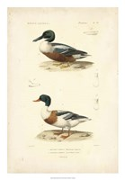 Antique Duck Study II Fine Art Print