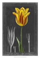 Midnight Tulip V Fine Art Print
