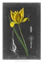 Midnight Tulip VI Fine Art Print