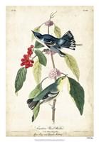 Cerulean Wood Warbler Fine Art Print
