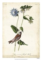 Grey-crowned Purple Finch Fine Art Print