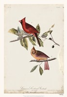 Common Cardinal Grosbeak Fine Art Print