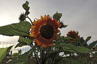 Sunflowers and Storm Fine Art Print