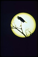 Egret Silhouette Fine Art Print