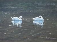 Preening Swans Fine Art Print