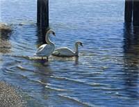 Glistening Water Swans Fine Art Print