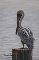 Resting Pelican Framed Print