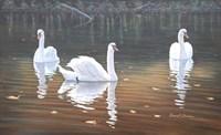 Back Lit Swans Fine Art Print