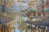 Brookside Retreat - Whitetails Fine Art Print