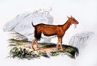 Female Goat Fine Art Print