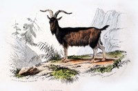 Male Goat Fine Art Print