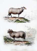 Sheep and Ram Fine Art Print