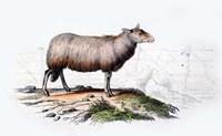 Sheep Fine Art Print