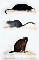 La Taupe, Le Muscardin, La Marmotte Fine Art Print