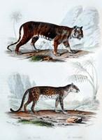 Tiger and Leopard Fine Art Print