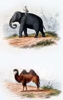 Elephant and Camel Fine Art Print